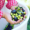 Olive Oil: Fresh, local and booming