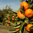 Mountain Mandarins: A Sweet Crop